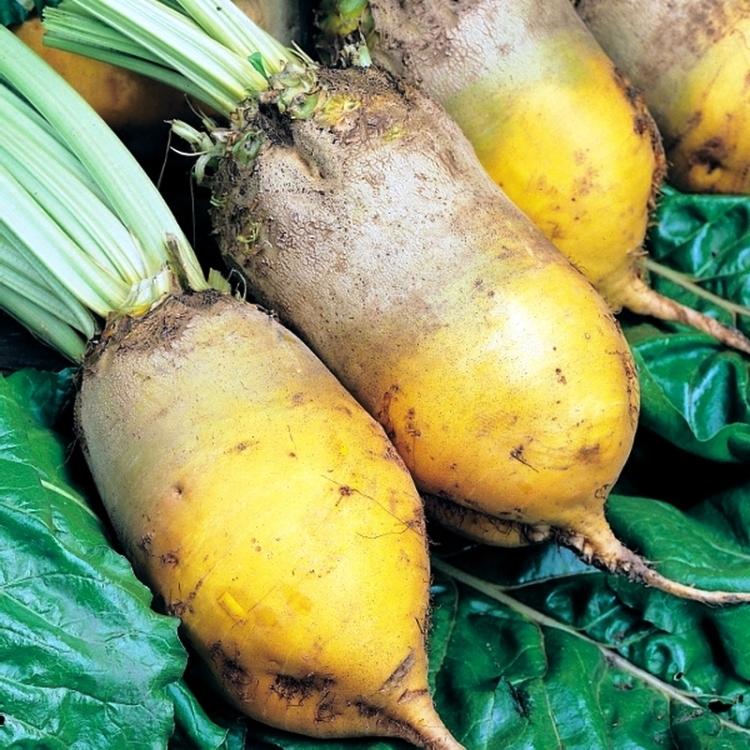 картинки кормовые корнеплоды стильного внешнего вида
