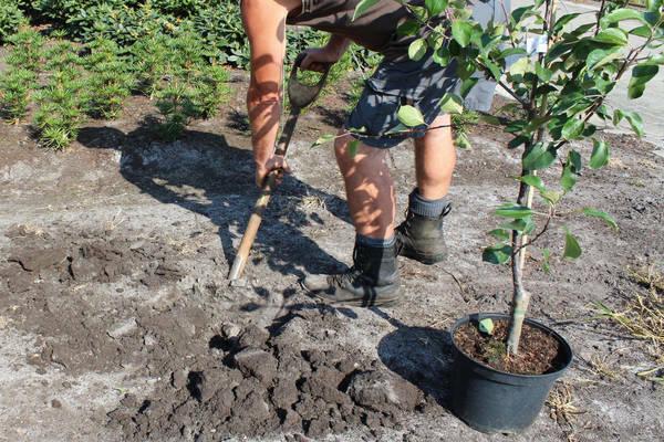 Удобрение почвы под грушу