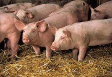 Уход за свиньями