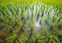 В Китае начались испытания выращивания риса в солено-щелочных почвах
