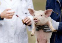 В Китае успешно завершились испытания вакцины против африканской чумы свиней