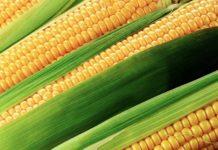В планах Китая — выращивание высокобелковой кукурузы