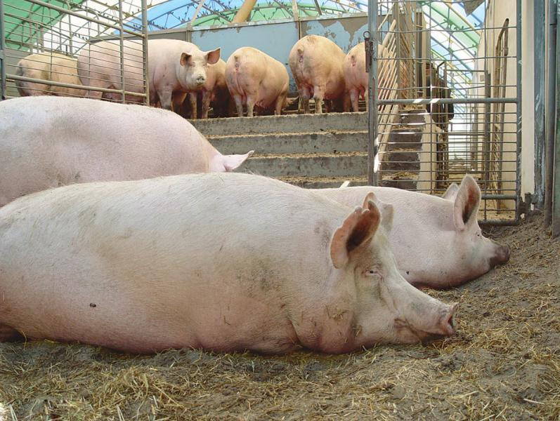 Виды откорма свиней
