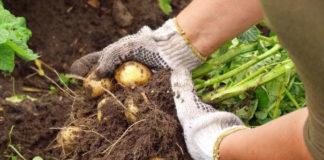 Выращивание картофеля и сбор урожая