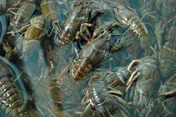 Вывод и выращивание личинок раков в бассейнах