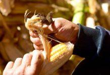 Аграрии застраховали втрое больше посевов
