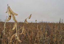 Амурская область потеряла 33 тысячи га посевных площадей