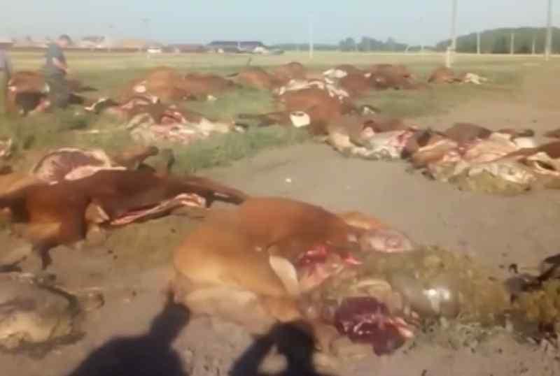 Photo of Причиной массовой гибели коров в Омской области стали пестициды