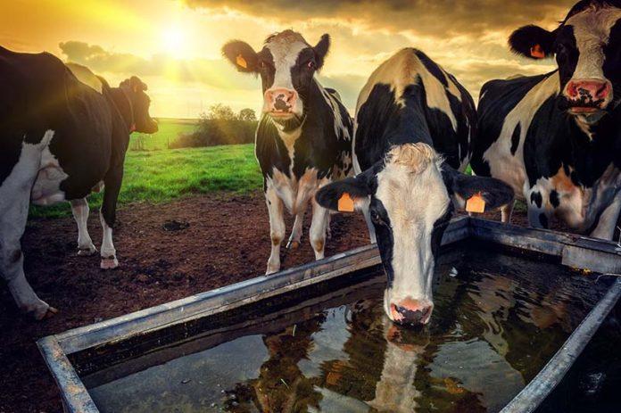Топ-10 советов по содержанию коров в жару от Минсельхозпрода РТ