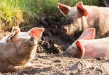 Ученые накормили свиней отходами производства японской водки