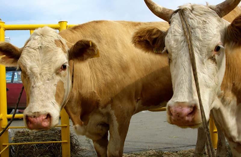 ВЧелябинской области коров будут доить роботы