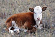 В Приморье начали чипировать сельскохозяйственных животных