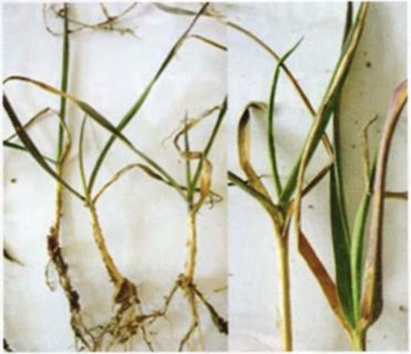Антоциановая окраска листовых пластин и отмирание кончиков листьев озимой пшеницы