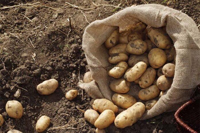 Благоприятные дни для уборки картофеля по лунному календарю