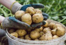 Полезные советы по уборке и хранению урожая картофеля