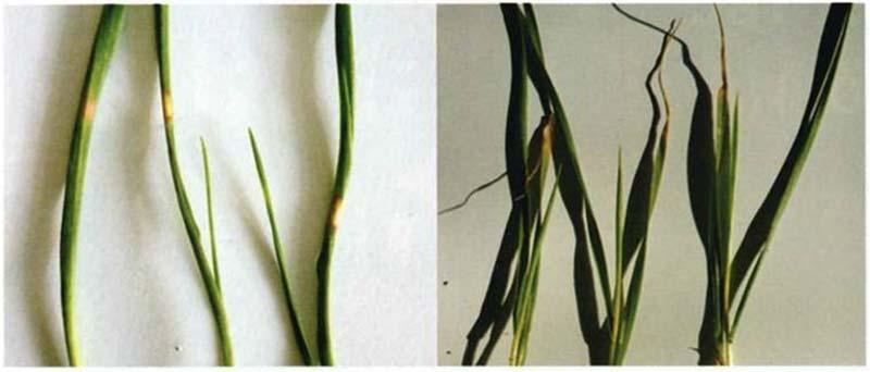 Поражение листовых пластин низкими температурами