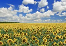 Правительство России рассматривает запрет на экспорт подсолнечника