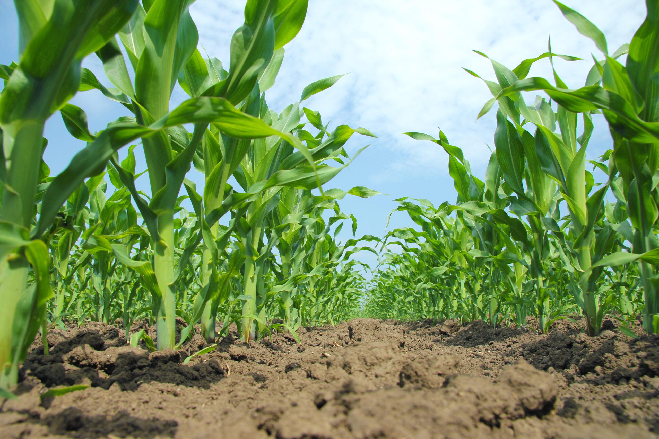 Photo of Опрос: как новый гербицид Суперкорн защищает кукурузу от сорняков