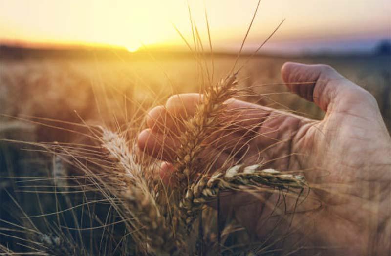 Синоптики спрогнозировали хороший урожай зерновых в России