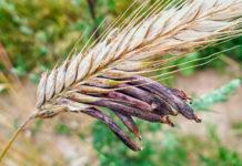 Склеротиния зерновых культур