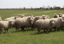Волгоградская область возрождает овцеводство