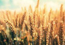 Выращивание зерновых как бизнес