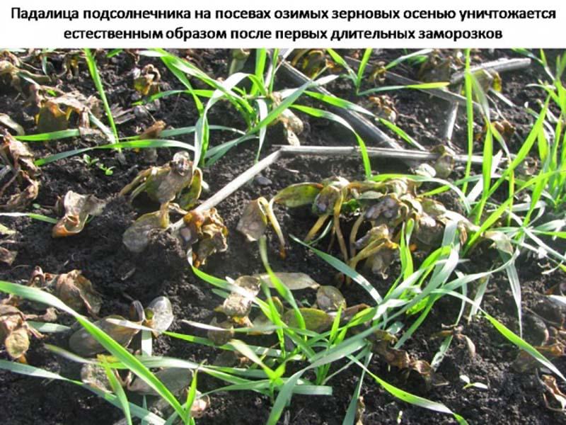 Выращивание озимых зерновых культур после подсолнечника