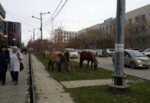 Безнадзорных якутских лошадей будут помещать на штрафстоянки