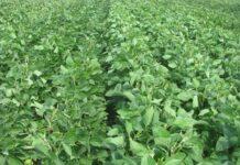 Борьба с сорняками в посевах сои