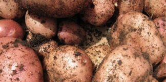 Что нужно для хорошего урожая картофеля?