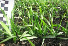 Факторы зимостойкости озимых зерновых культур