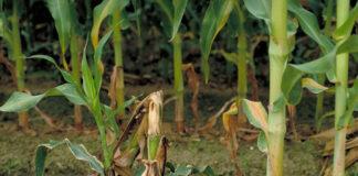 Фузариозные стеблевые и корневые гнили кукурузы