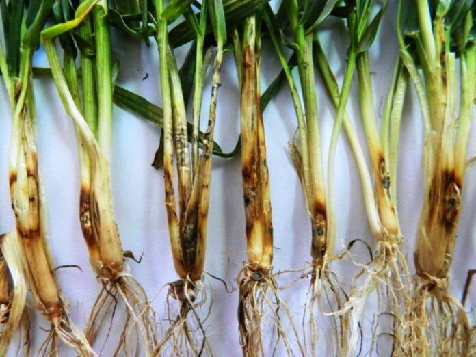Корневая гниль пшеницы