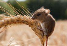 Мышевидные грызуны атаковали посевы Ставрополья