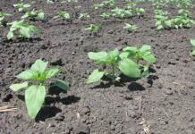 Научно обоснованная технология выращивания подсолнечника