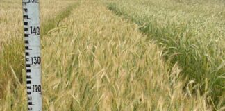 Определение сроков уборки зерновых культур