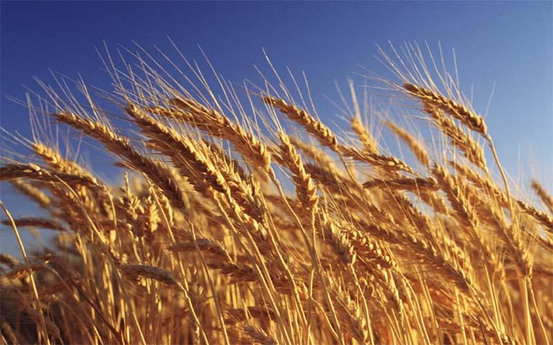 Почти 80 тысяч сортов пшеницы прошли генетическое определение в США