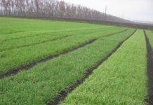 Применение ретардантов в посевах зерновых культур