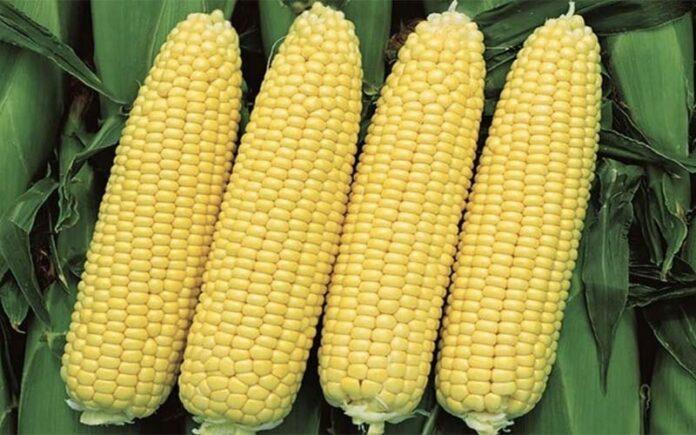 Рекордный урожай кукурузы на Урале — заслуга региональных селекционеров