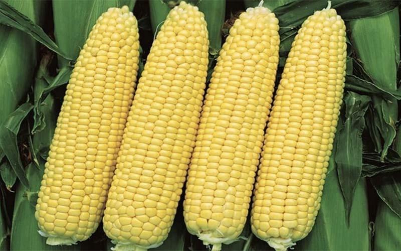 Photo of Рекордный урожай кукурузы на Урале — заслуга региональных селекционеров