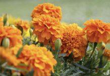 Руководство по правильному посеву бархатцев под зиму для начинающих цветоводов