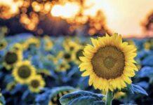 Семеноводство подсолнечника