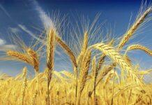 США признали Россию абсолютным лидером на мировом рынке пшеницы
