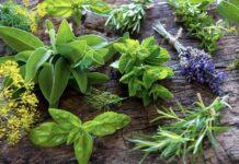 Ставропольские селекционеры вывели 15 новых высокоурожайных сортов лекарственных и пряных растений