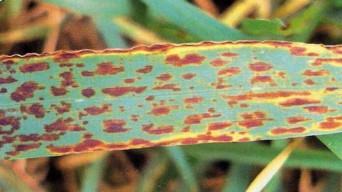 Темно-бурая пятнистость пшеницы и ячменя
