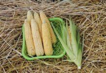 Уральские ученые вывели самый скороспелый гибрид кукурузы в России