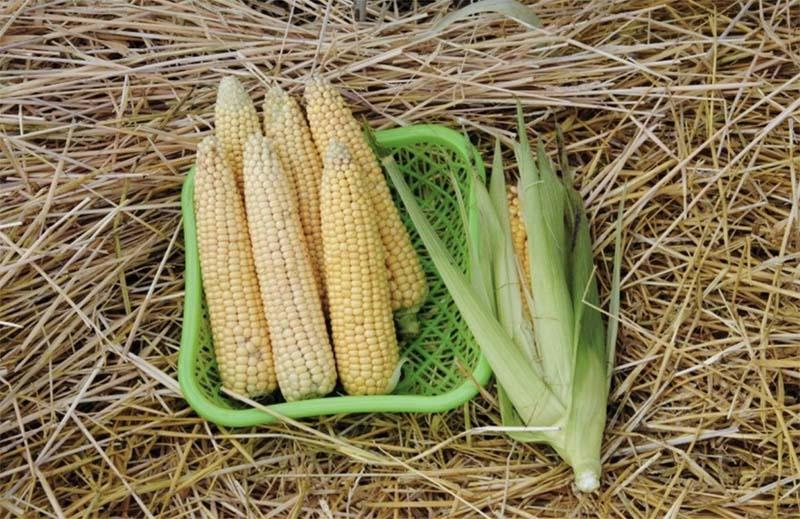 Photo of Уральские ученые вывели самый скороспелый гибрид кукурузы в России