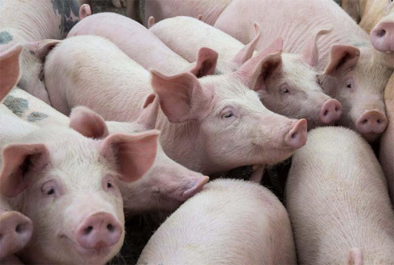 Ущерб от африканской чумы свиней в Приамурье оценивается в 180 млн рублей