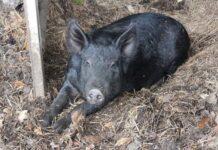 В Германии зафиксирован первый случай заражения африканской чумой свиней