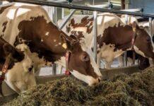 В крупнейшем хозяйстве Хабаровского края выявили недостаток кормов для коров